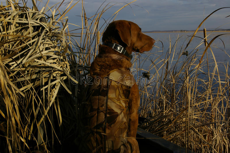 Duck Hunting Dog royalty free stock images