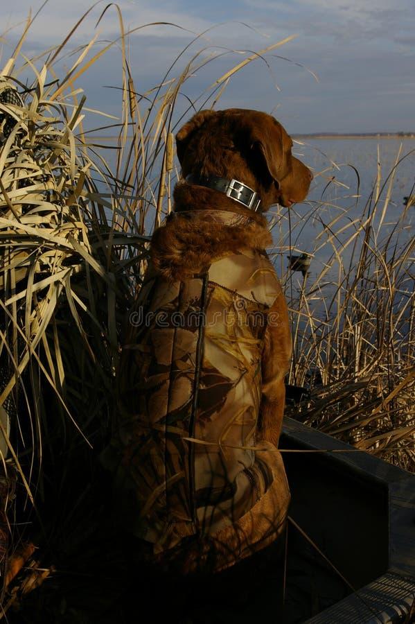 Duck Hunting Dog stock image
