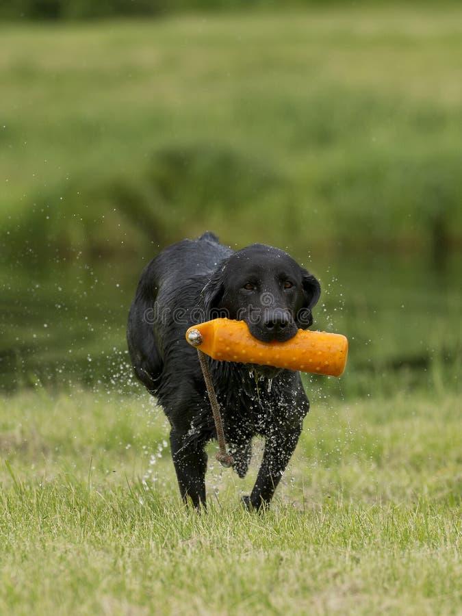 Duck Hunting Dog fotografering för bildbyråer