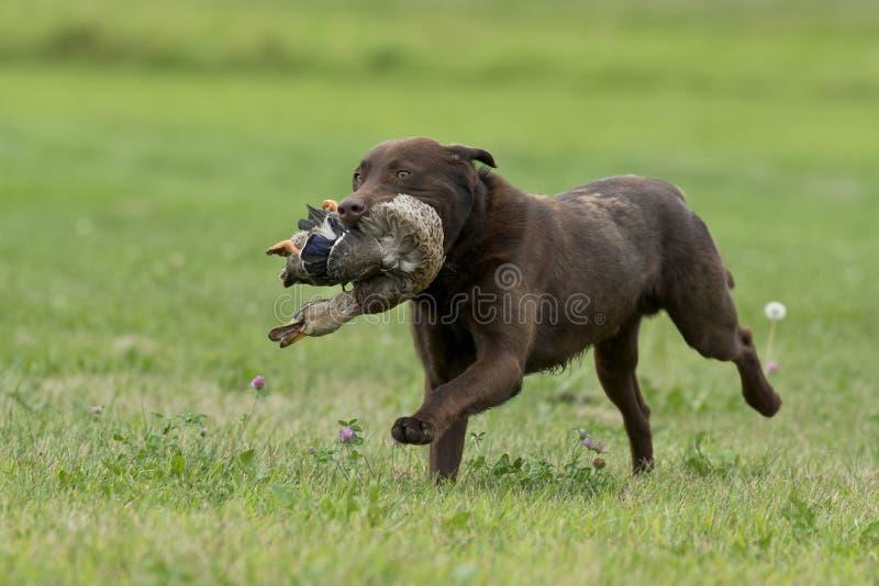 Duck Hunting Dog stockfotografie