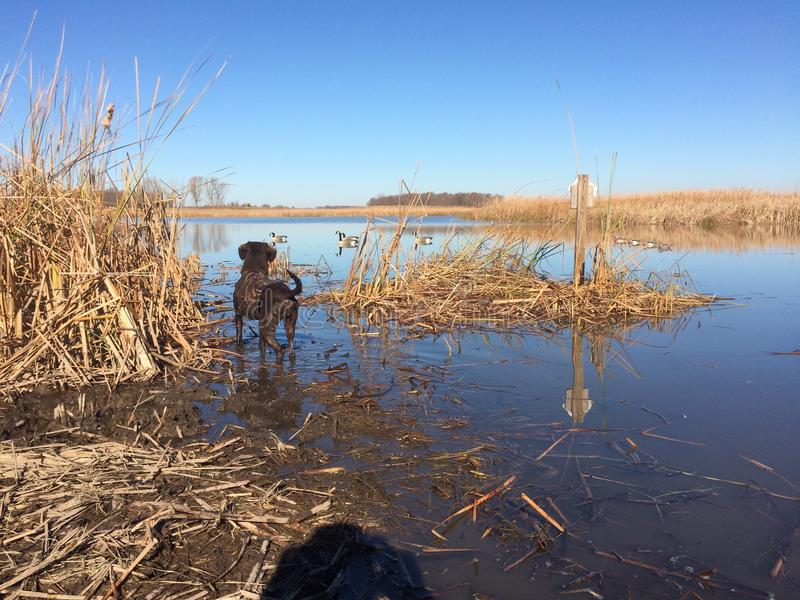 Duck Hunting Duck Dog. Decoys on the water royalty free stock photography