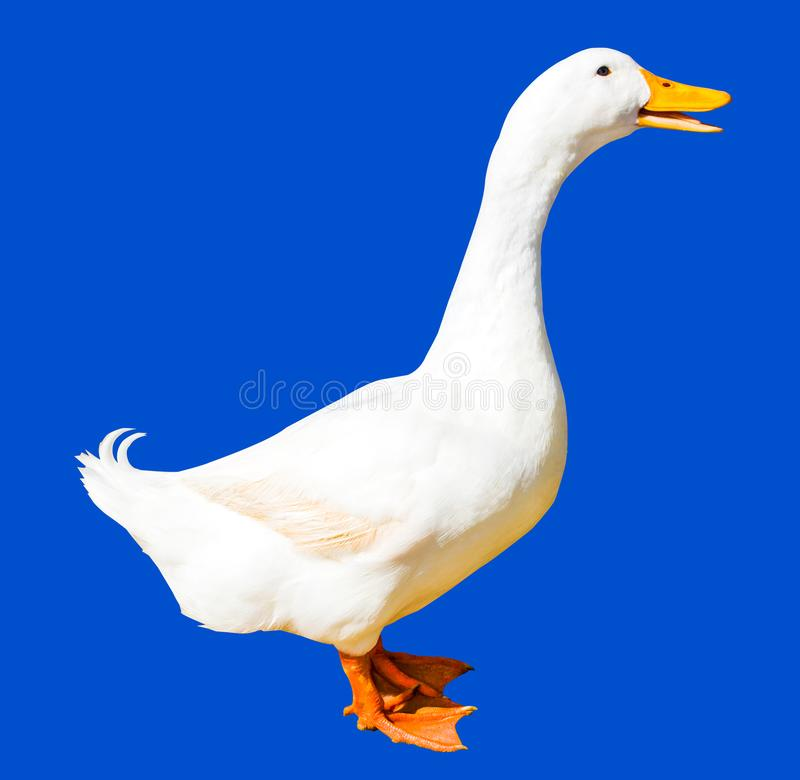 Duck isolated on blue background with clipping path stock images