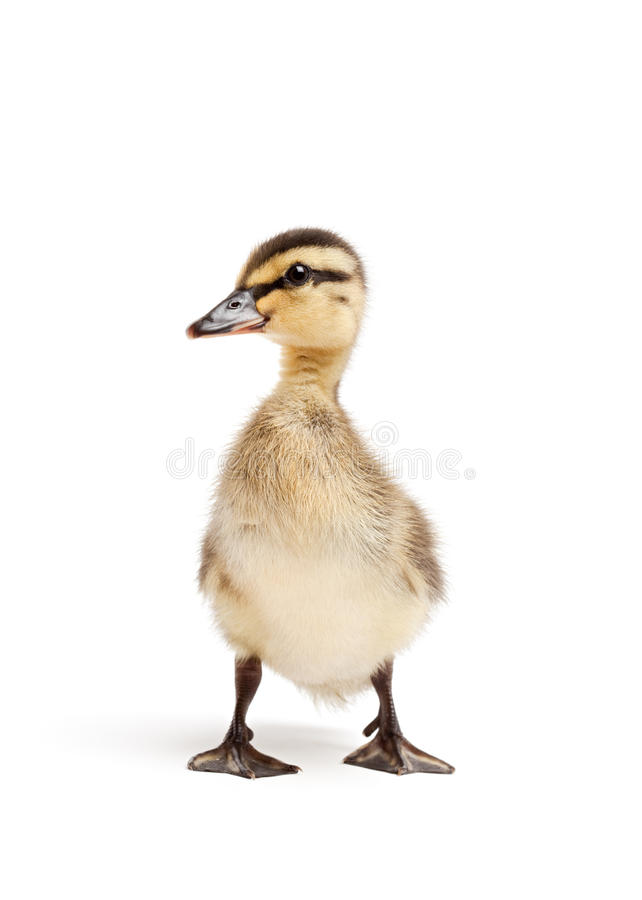 Duck isolated on white. Female Mallard duckling closeup