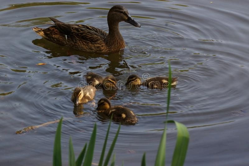 A duck with its ducklings which swim together. It and its ducklings has the head under water. It is in day, in France and there is nobody stock photography