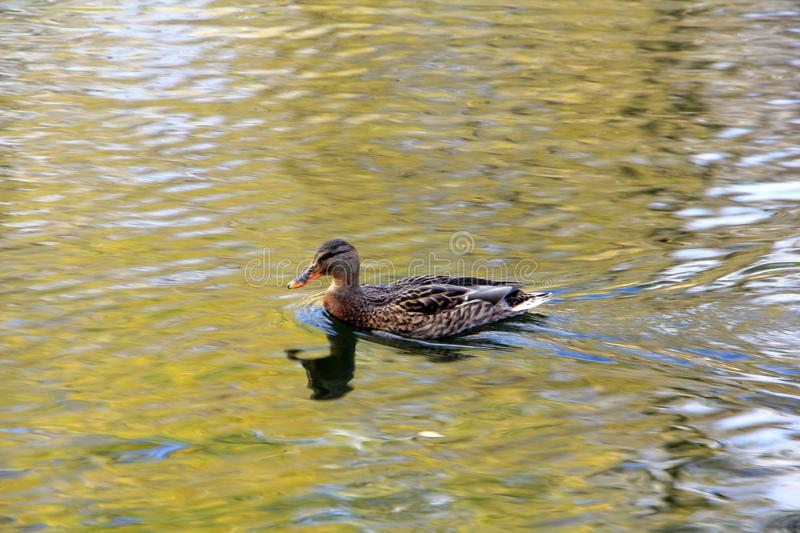 A confident and beautiful duck swimming in golden water royalty free stock photography