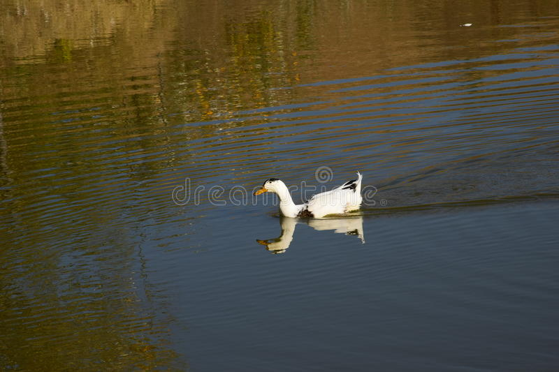Duck on the lake. Beautiful duck, white and black feathers, at the lake, beak, wildlife, double duck stock image