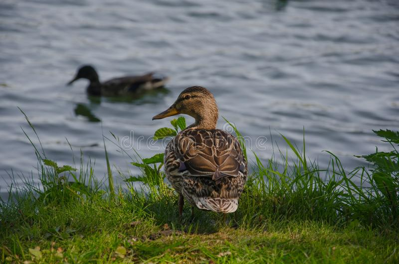 Duck by the lake in the park royalty free stock photos