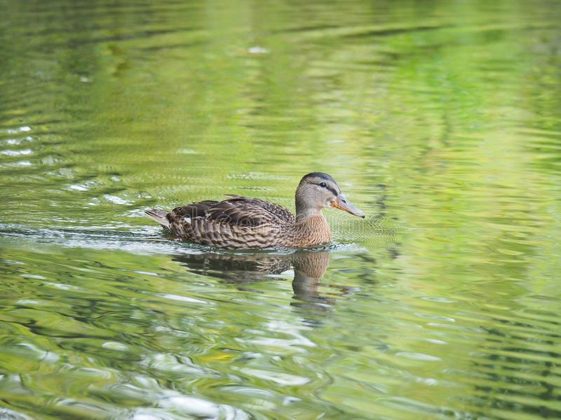 A duck in the lake portrait royalty free stock photography