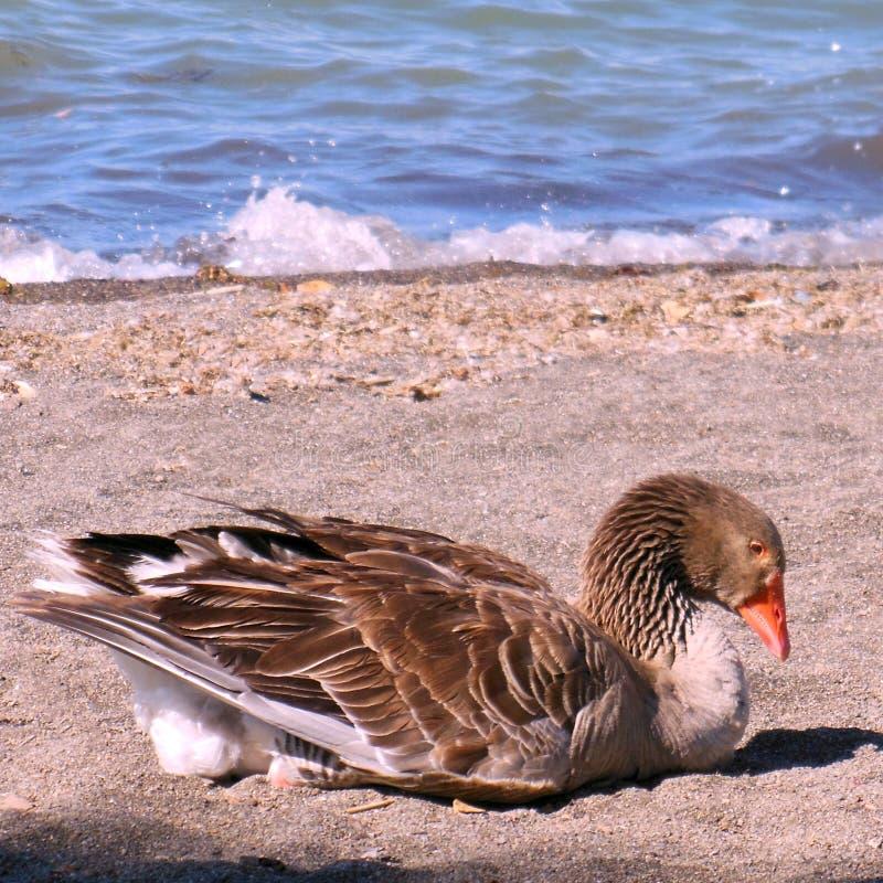 Duck in lake river stock photo