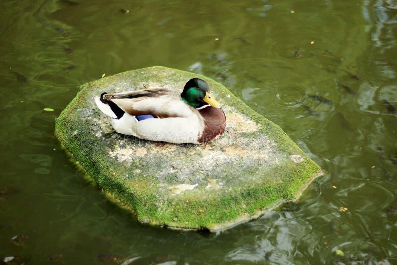 Duck Latin namnger anatidaen enligt klassifikationen tillhör gruppen av fåglar, beställning av gäss, familjen av anden och släkte arkivbilder