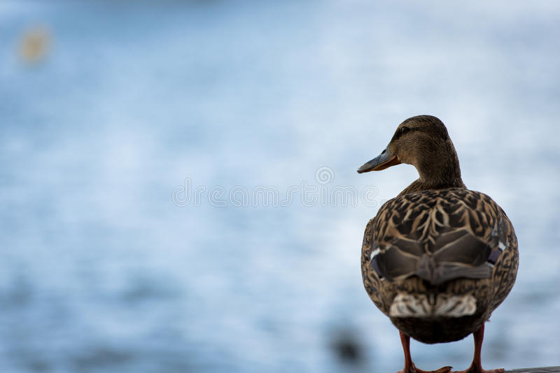 Download Duck stock photo. Image of outdoor, duck, nature, lonely - 30536592