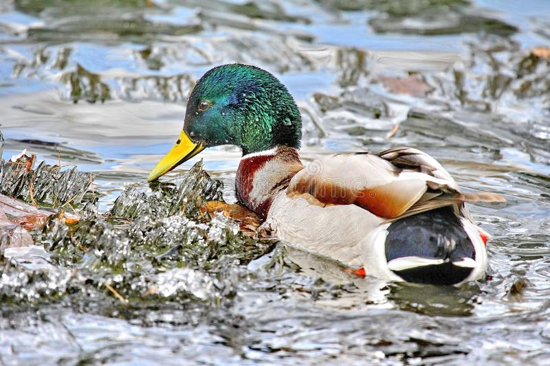 Duck looking for food in blooming water. Mallard - a bird from the family of ducks detachment of waterfowl. royalty free stock photo