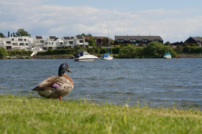Duck looking his destiny ! royalty free stock photography