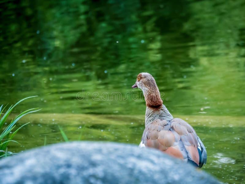 Duck Looking in i långt arkivbilder