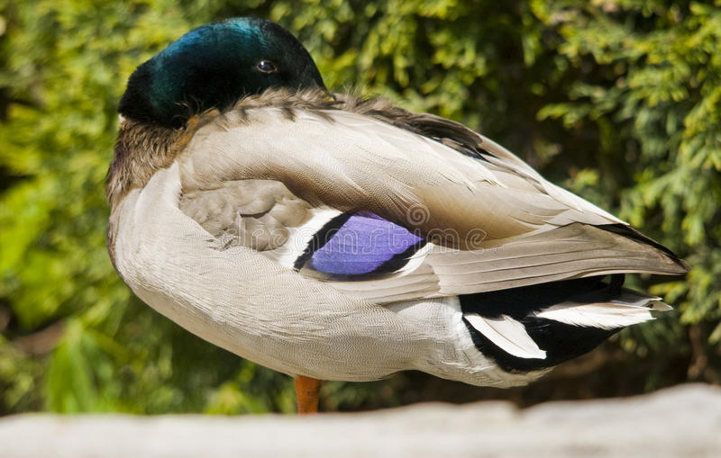 Download Duck male stock photo. Image of nature, purple, wings - 28552082