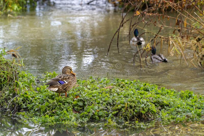 Duck male and female stock photo