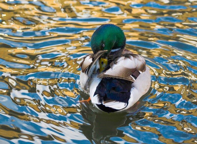 Duck Mallard royalty-vrije stock afbeelding