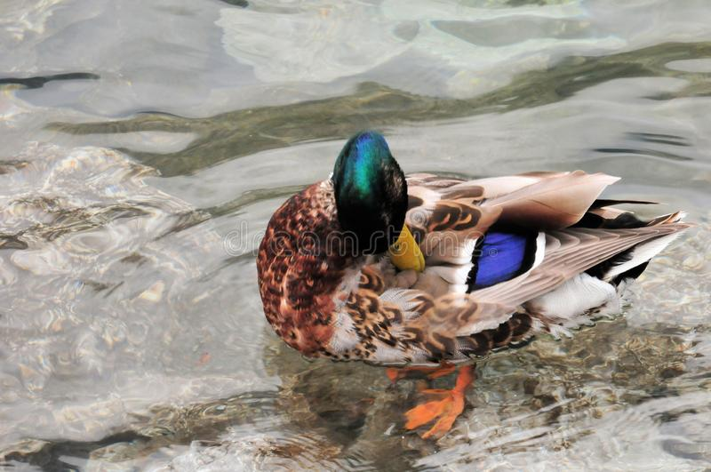 Duck mallard in the water of a lake. Duck mallard animal bird Swimming water Pond lake wild colorful royalty free stock image