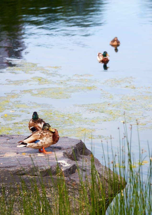 Duck Mallard, das auf einem Felsen nahe einem Teich steht stockfotografie