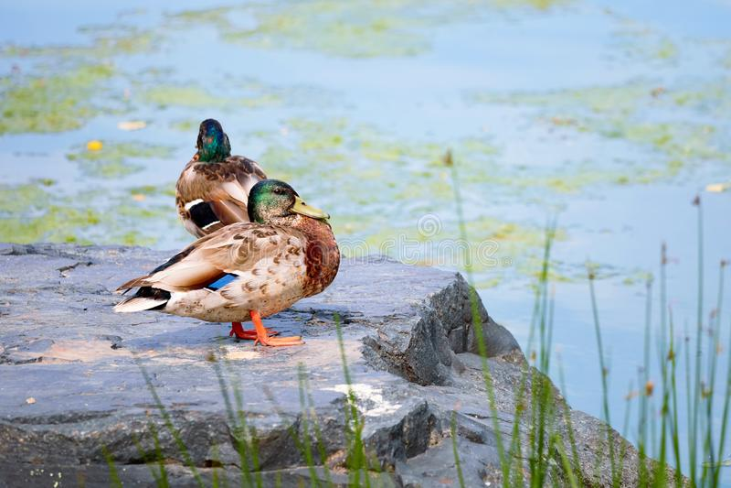 Duck Mallard, das auf einem Felsen nahe einem Teich steht stockfotos