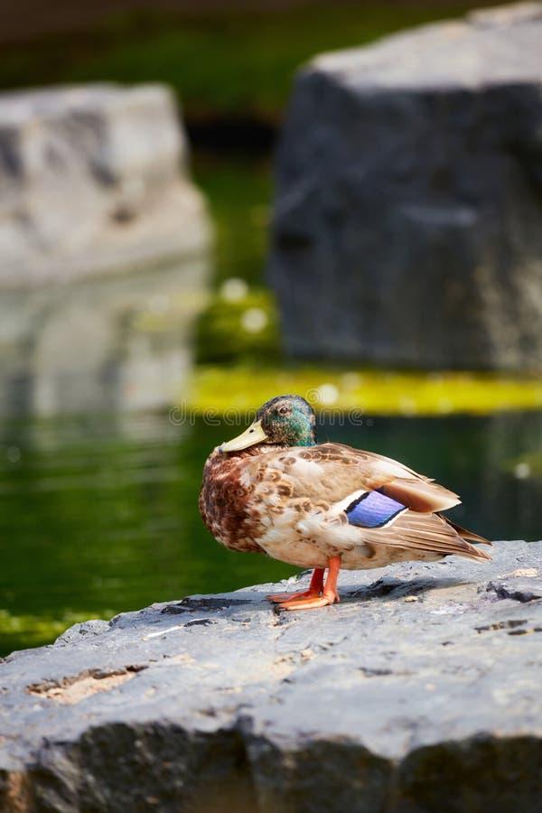 Duck Mallard, das auf einem Felsen nahe einem Teich steht lizenzfreie stockfotografie