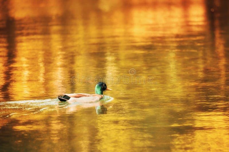 Duck Mallard, das auf einem goldenen Teich schwimmt lizenzfreie stockfotos
