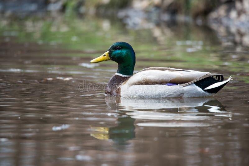 Duck Mallard masculino selvagem fotografia de stock royalty free