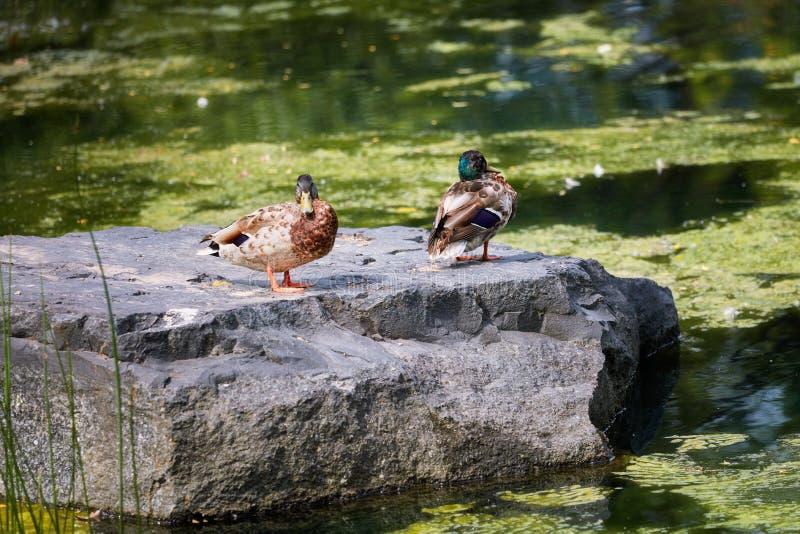 Duck Mallard que está em uma rocha perto de uma lagoa fotografia de stock royalty free