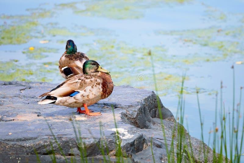 Duck Mallard que está em uma rocha perto de uma lagoa fotos de stock