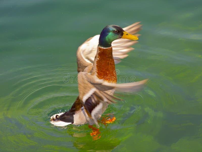 Duck. Mallard, Wild Duck, Anas platyrhynchos, male / anatidae, anseriformes royalty free stock photo