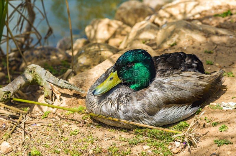 Duck Mallard Wild Mallard Duck masculino Drake fotografia de stock