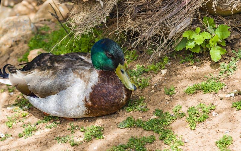 Duck Mallard Wild Mallard Duck masculino Drake fotos de stock royalty free