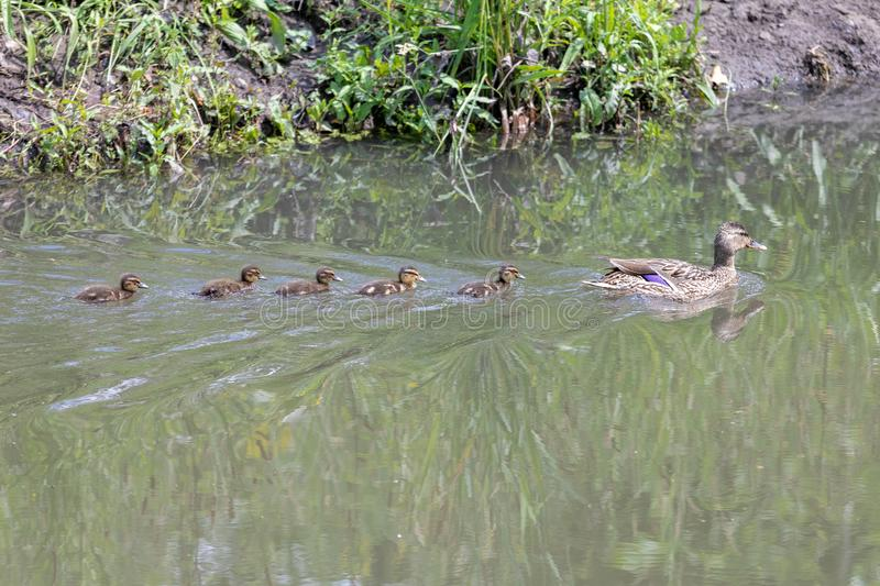 Duck mama with ducklings swimming in lake in formation.  stock image
