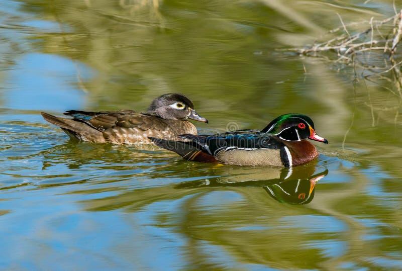 Duck Mating Pair Swimming en bois dans un lac photographie stock libre de droits
