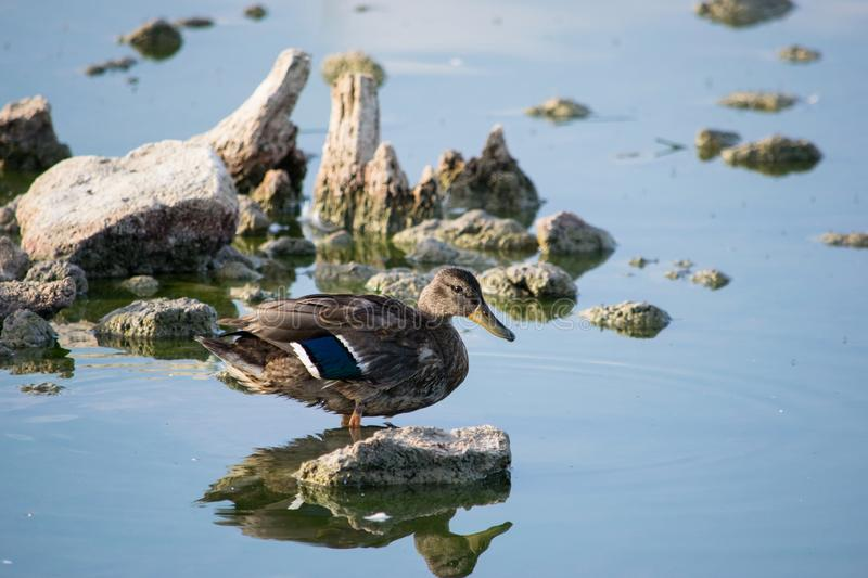 Duck in the middle of the river 3. Duck posed on a rock in the middle of a river stock photo