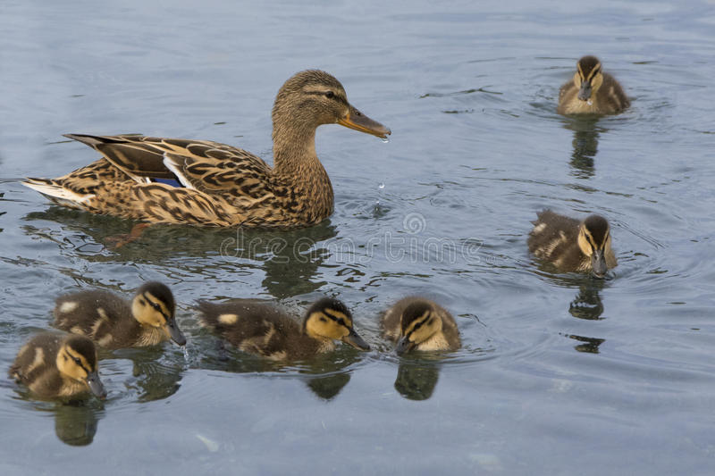 Duck mother with chicks stock photo