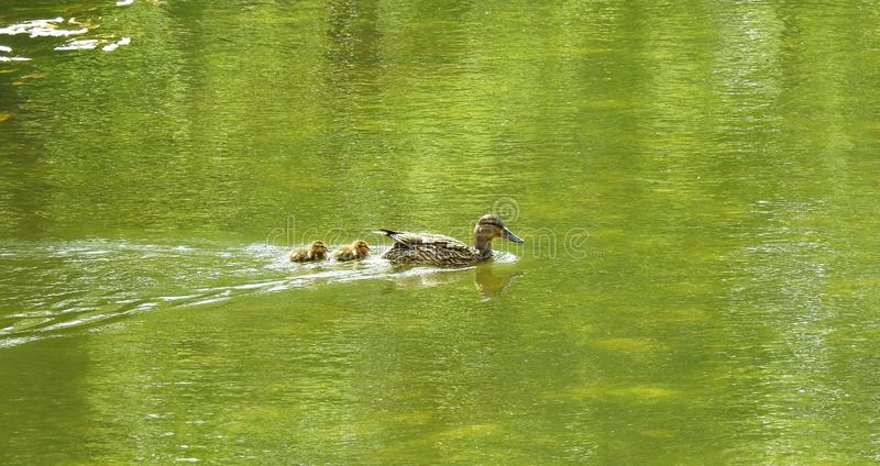 Duck with kids floating on water, Lithuania royalty free stock photos