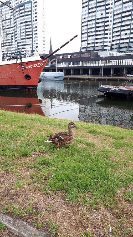 Duck near the water. A duck near the water stock photo