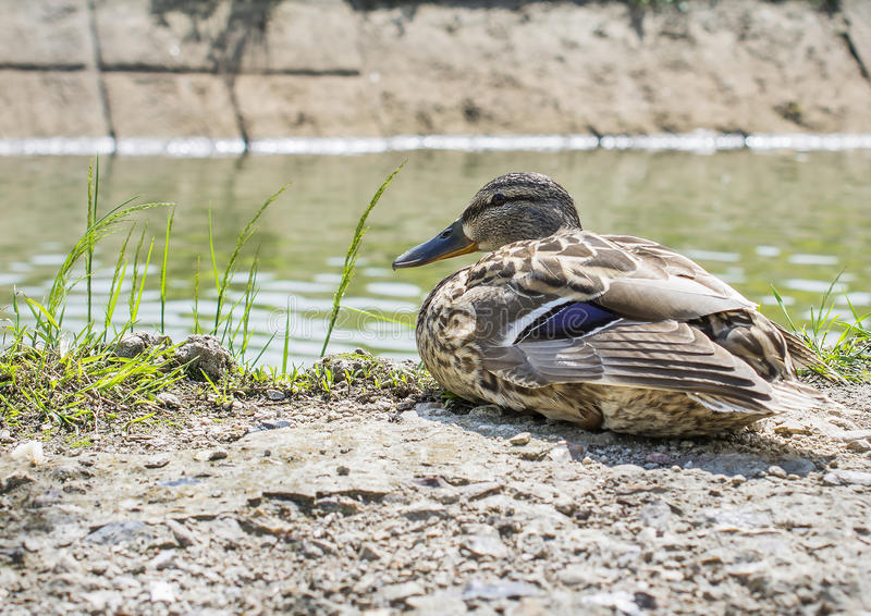 The duck near water. The duck is sitting near water royalty free stock photos