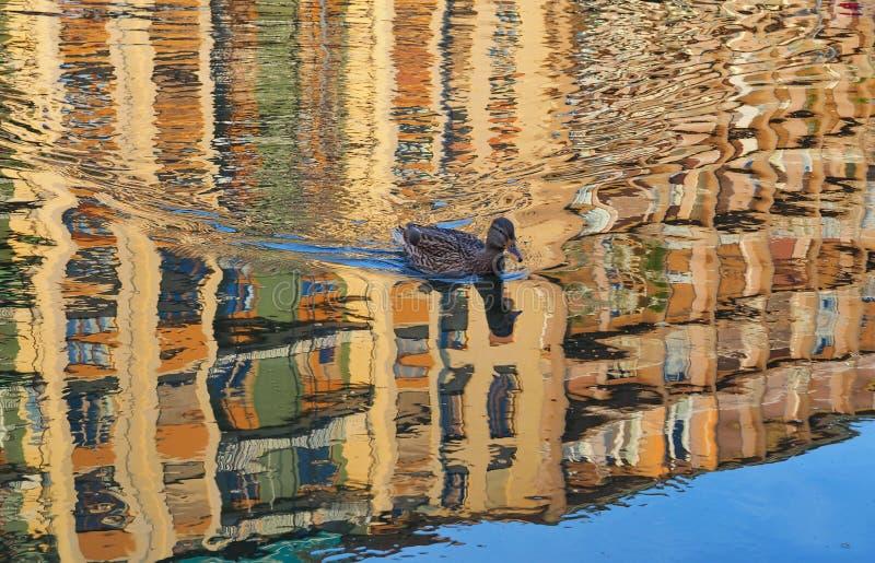 Duck no canal de Darsena na área de Navigli na noite fotografia de stock