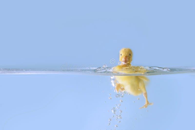 Duck o espirro na água fotografia de stock