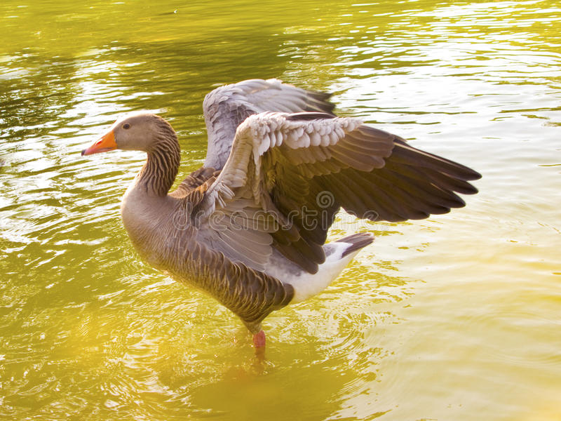 A duck with open wings royalty free stock photo