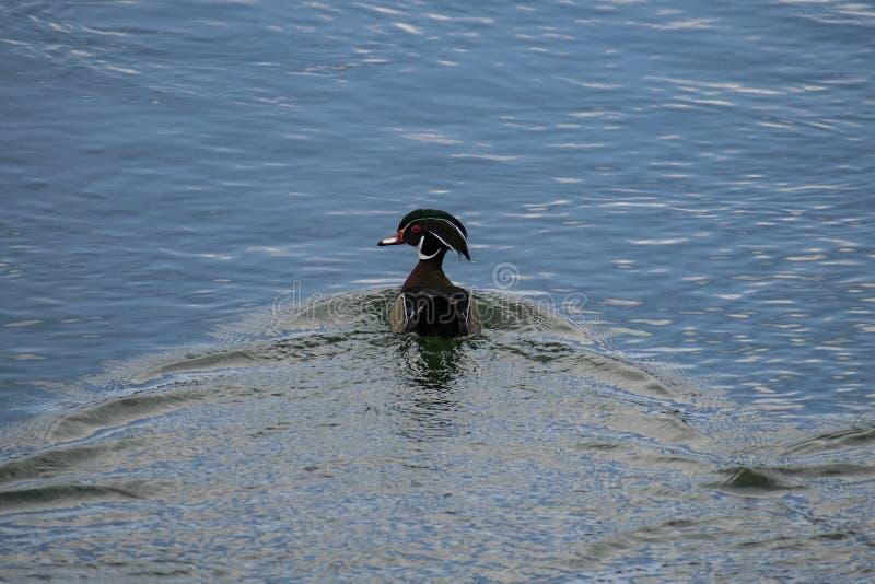 Duck Out de madera masculino para una nadada foto de archivo libre de regalías