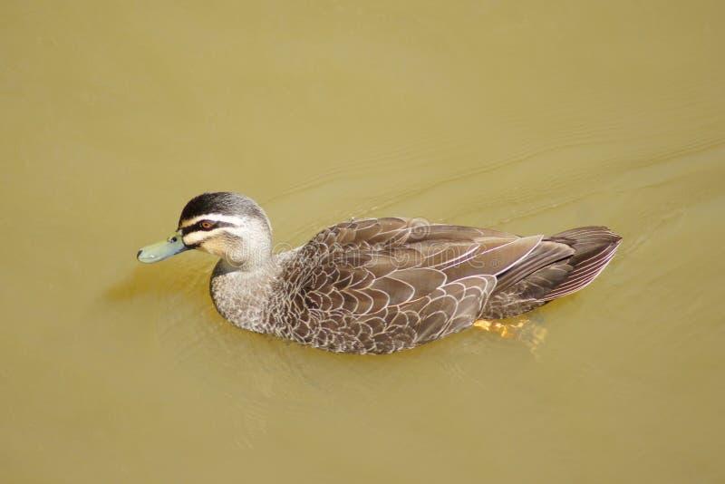 Duck Paddling River royalty-vrije stock afbeelding