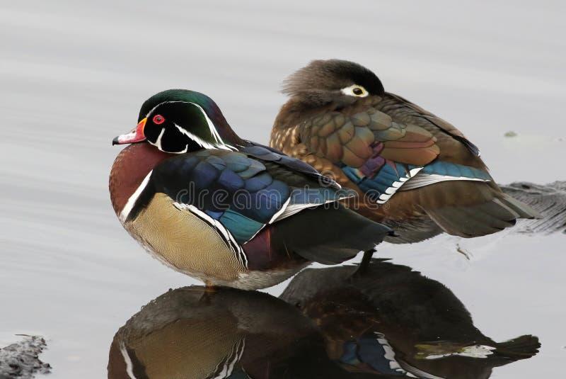 Duck Pair di legno - sponsa del Aix fotografia stock