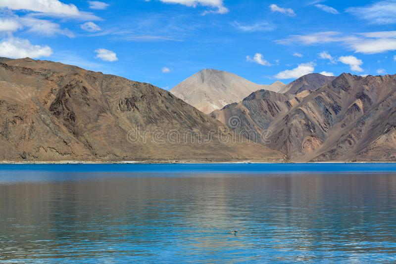 Duck in the Pangong Lake royalty free stock photo