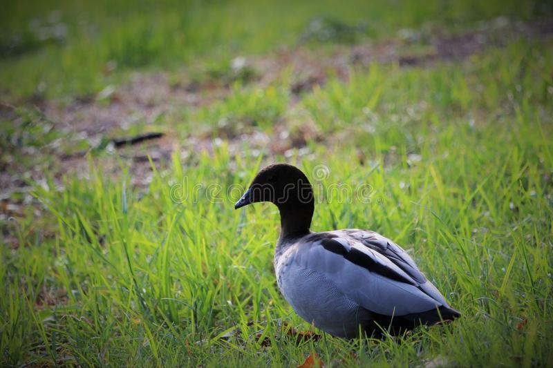 Duck in paramatta park. It& x27;s feather are like texture,sharp image of royalty free stock image