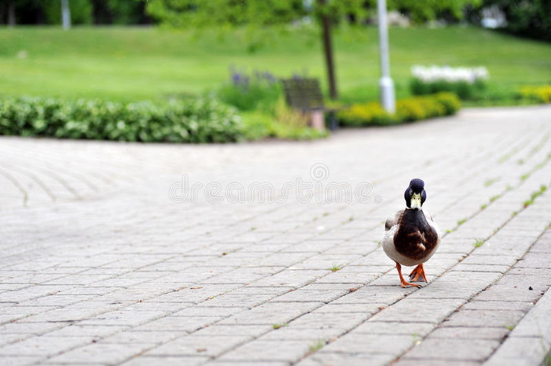 Duck in park stock images
