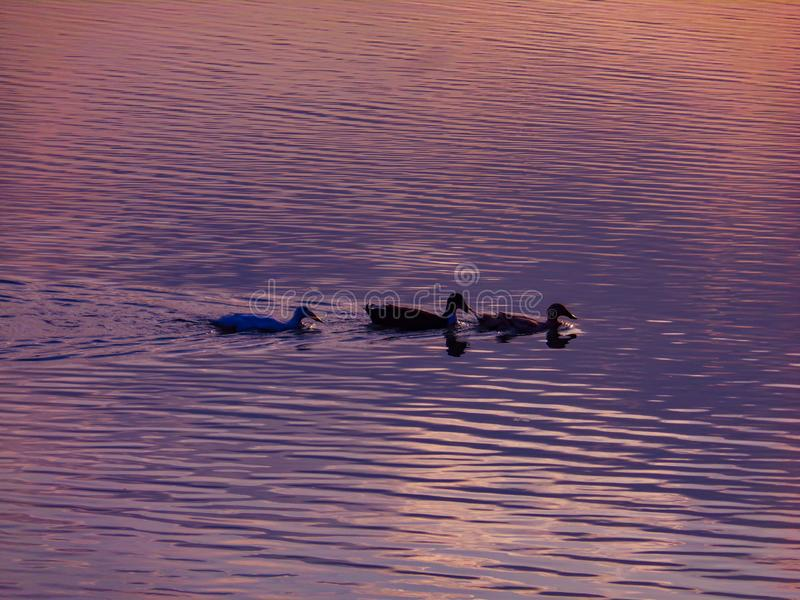 Duck play in the calm river water in the afternoon. In the afternoon, the ducks are returning home stock photo