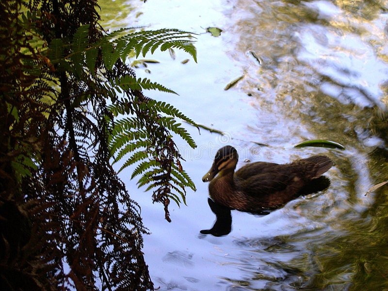 Download Duck pond stock photo. Image of fall, reflection, duck - 151930